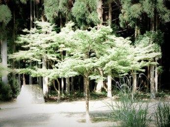 arbre arashiyama