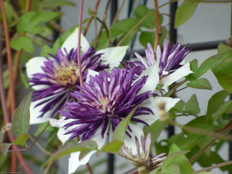 Fleur végétation Ile Miyajima