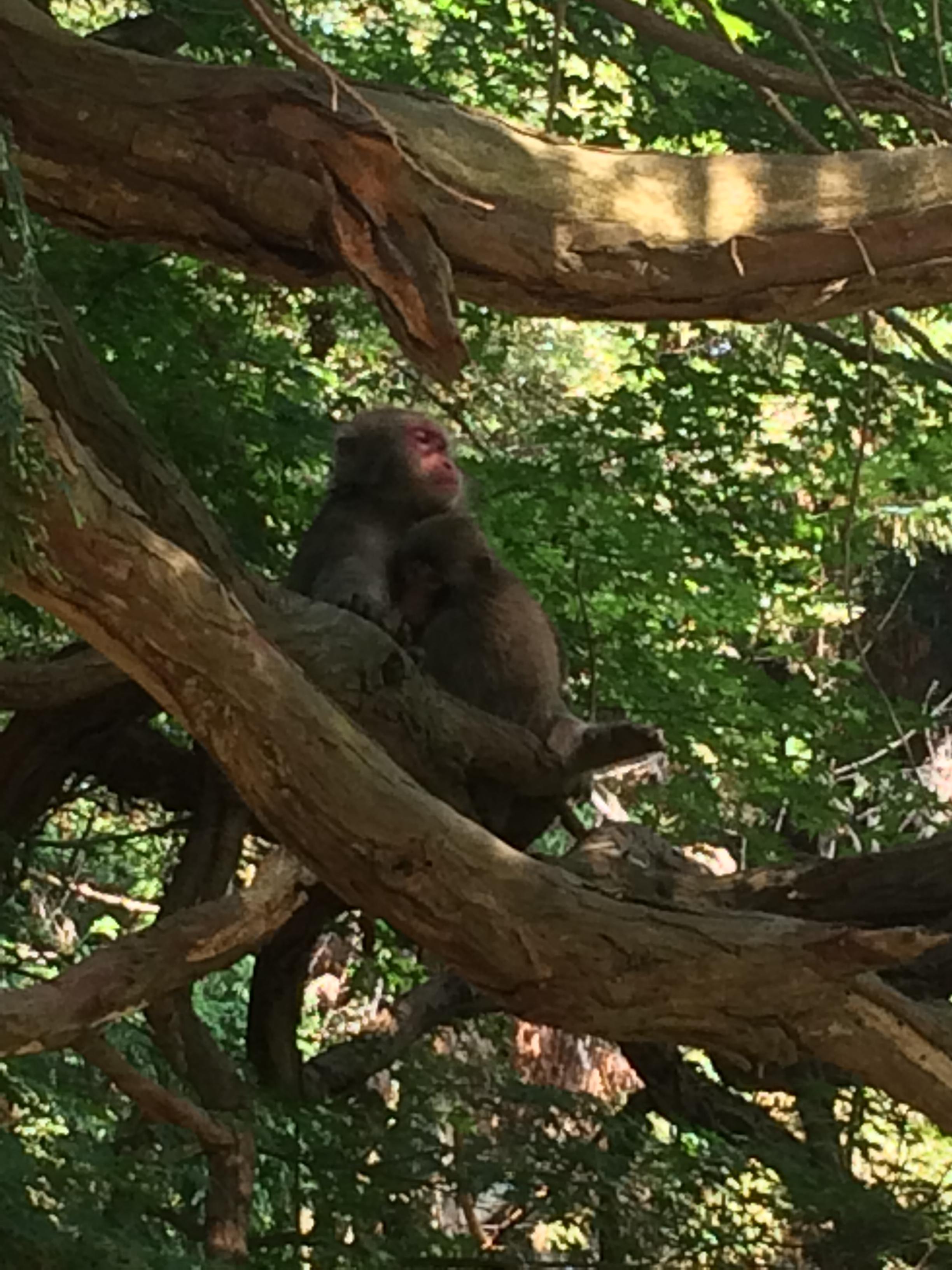 parc aux singes Iwatayama