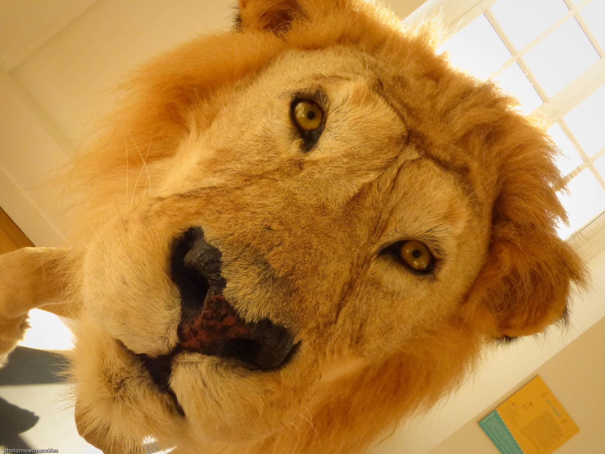 Le roi de la jungle Musée d'histoire naturelle le Havre