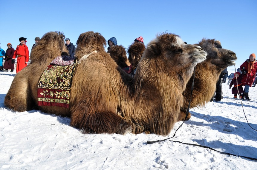 camel-1264561_1920