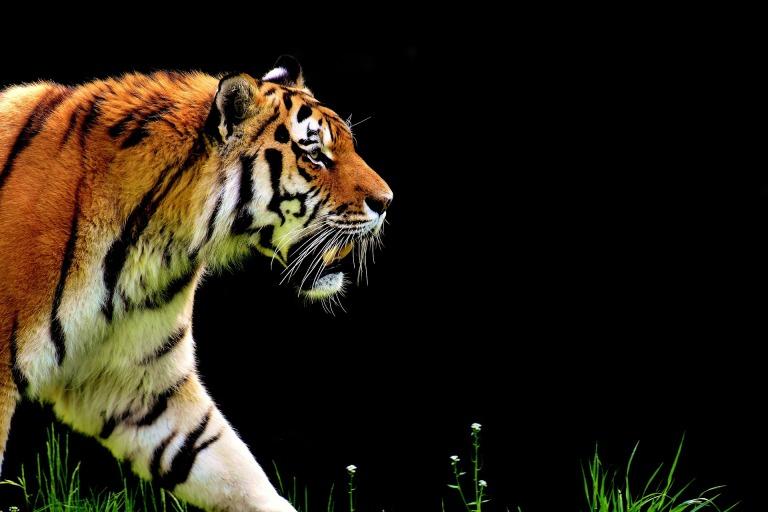 tiger-2320819_1920