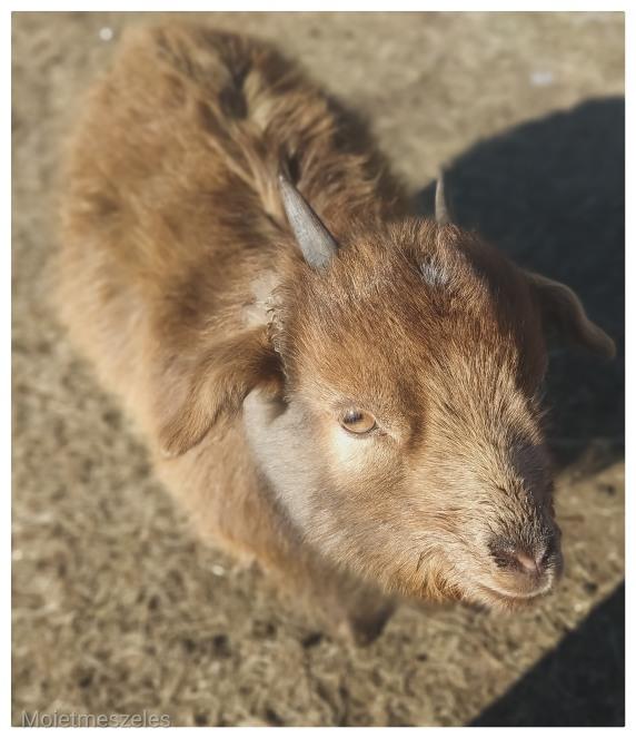 bouc élevage famille nomade mongolie