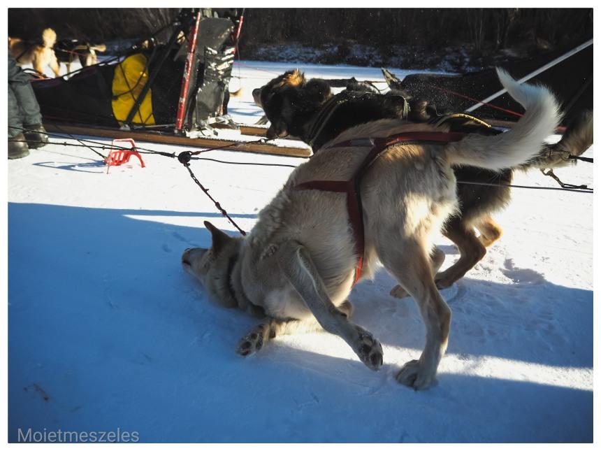 circuit chien traineau lac terejl wind of mongolia mongolie hiver