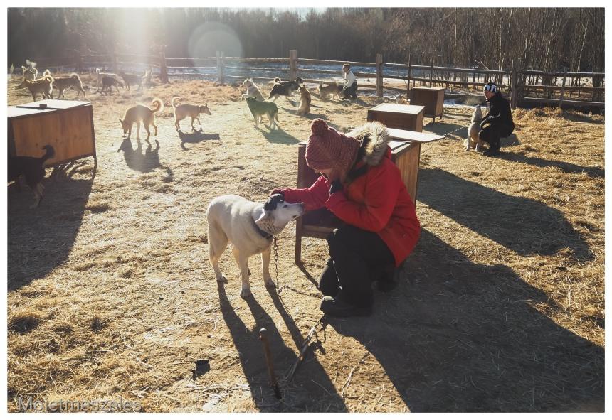 découverte chiens traineaux lac terejl wind of mongolia mongolie hiver