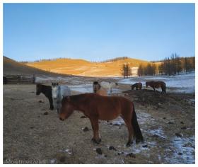 elevage chevaux mongolie arkhangai