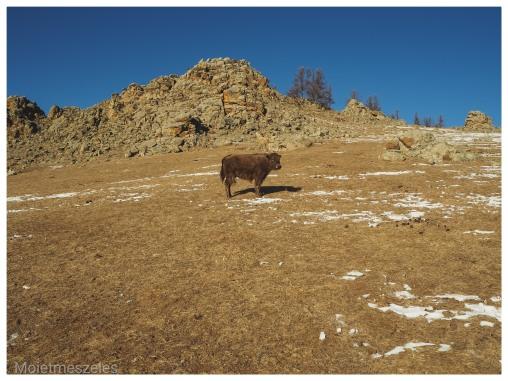 yak arkhangai mongolie hiver