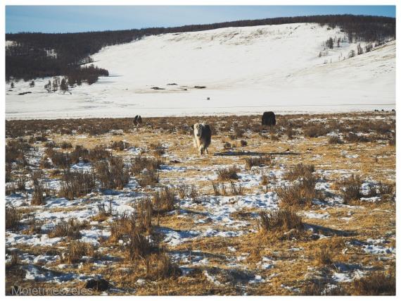yak nature sauvage mongolie hiver arkhangai