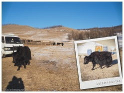 yaks mongolie hiver
